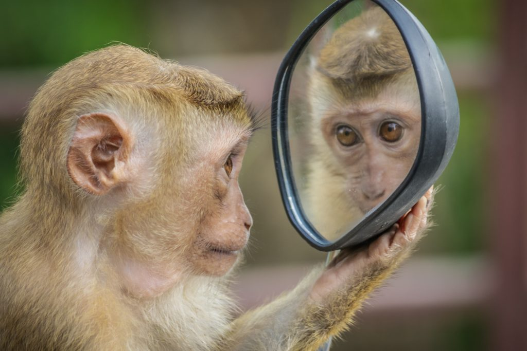 We see a monkey holding a mirror and looking in it, looking at itself.